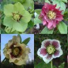 Explore the rare and individually bred Hellebores