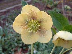 Hellebore Collection Photo 4