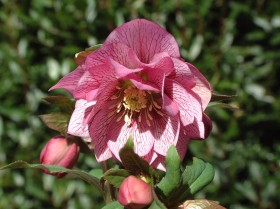 Hellebore Collection Photo 8