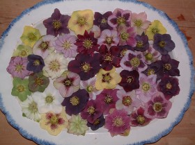 Hellebore Collection Photo 12