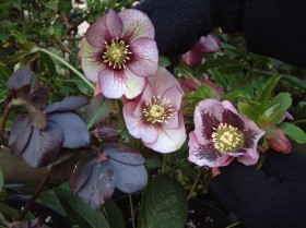Hellebore Collection Photo 13