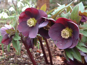 Hellebore Collection Photo 16