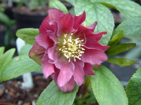 Hellebore Collection Photo 21