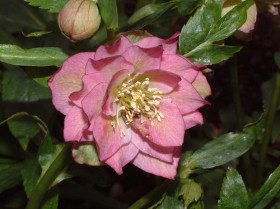 Hellebore Collection Photo 22