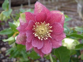 Hellebore Collection Photo 25