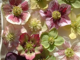 Hellebore Collection Photo 27