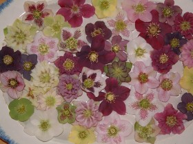 Hellebore Collection Photo 28