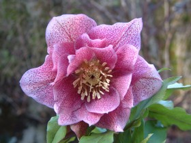 Hellebore Collection Photo 30